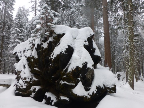 Young Giant Sequoia growing out of a fallen one.
