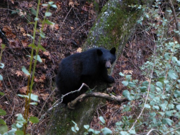 Brown Bear, Marble Falls Trail, Sequoia National Park.