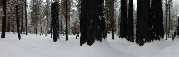 Crescent Trail, Giant Forest in Sequoia National Park (click to enlarge).