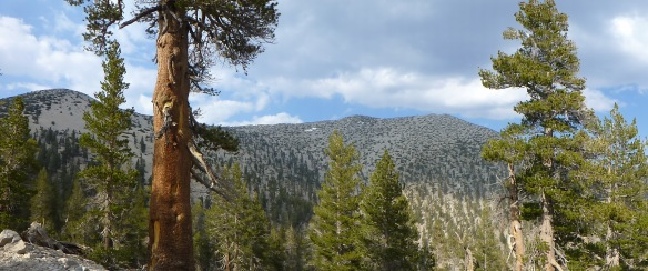 View of Mt. San Gorgonio from the Vivian Creek Trail--Jepson Peak on the left. (click to enlarge).