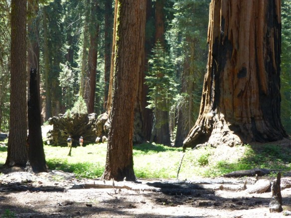 Texture of Giant Forest. (Note the people standing next to a fallen giant with a comparatively young sequoia growing out of it).