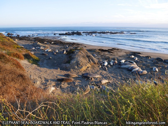 Elephant Seal Boardwalk and Trail, Point Piedras Blancas off Highway 1.