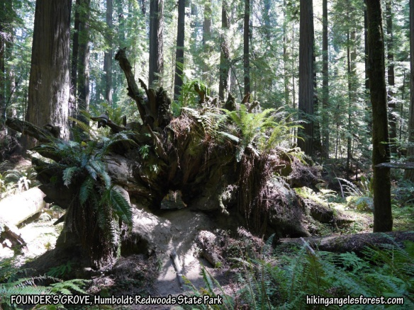 Founder's Grove, Humboldt Redwoods State Park