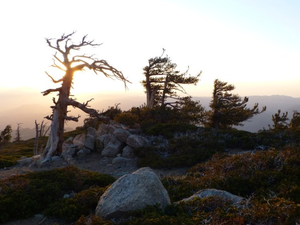 Limber Pine Bench