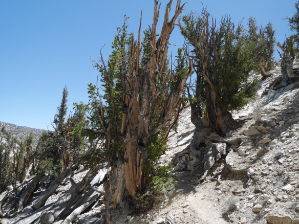 Methuselah Walk, Ancient Bristlecone Pine Forest