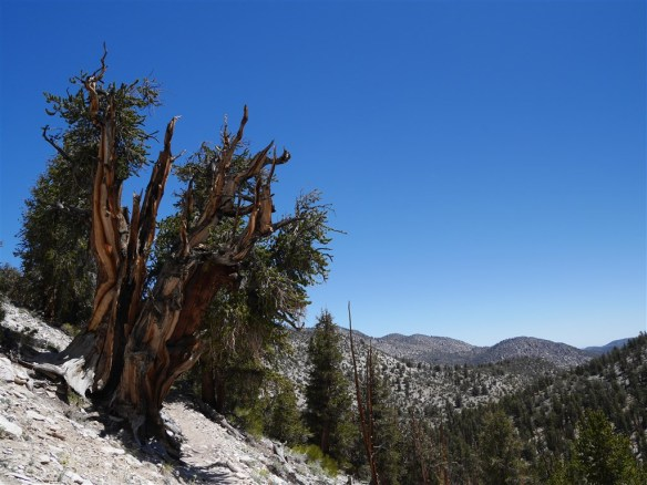 Ancient Bristlecone Pine on Methuselah Walk