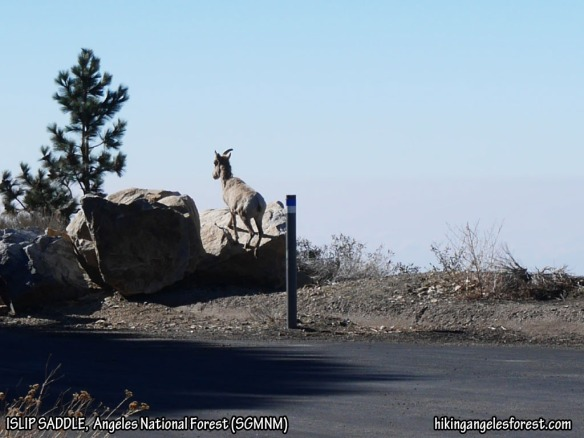 One of the two Bighorn Sheep I saw from Islip Saddle.