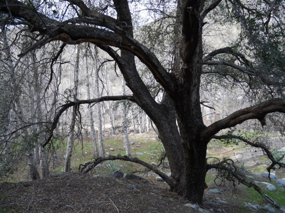 An oak tree on the continually changing path along the river.