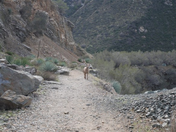 Bighorn on the trail in front of me.