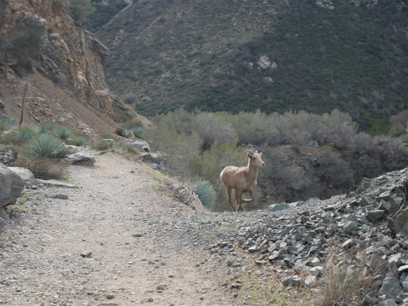 Bighorn veering off trail and heading up the rocky outcrop.