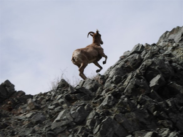 Bighorn just above me as he moved around me by going to higher ground.