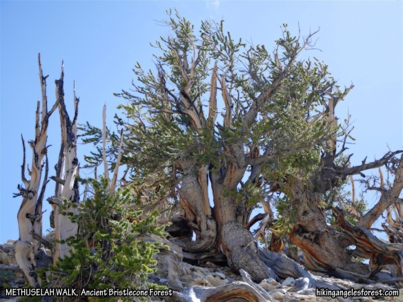 Ancient Bristlecone Pines along the Methuselah Walk