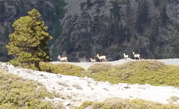 My favorite hike this quarter was #42 on July 1 in large part due to seeing a group of bighorn sheep at the saddle between Mt. Baldy and Mt. Harwood.